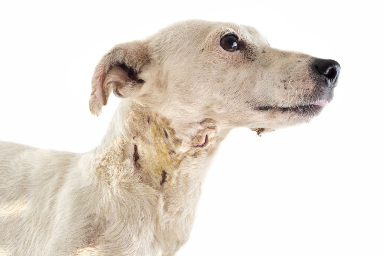 What to do if your Pet has a Bite Wound