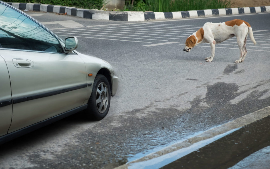 Everything you need to know if your dog is hit by a car