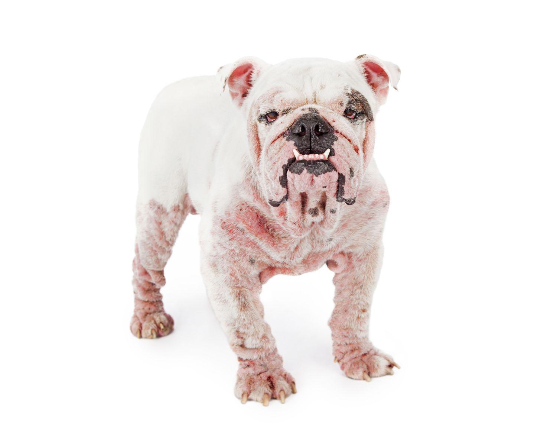 Skin allergy on dogs